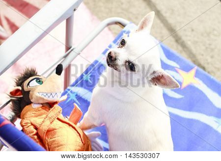 White Chihuahua Male Dog Pleasuring Outdoor