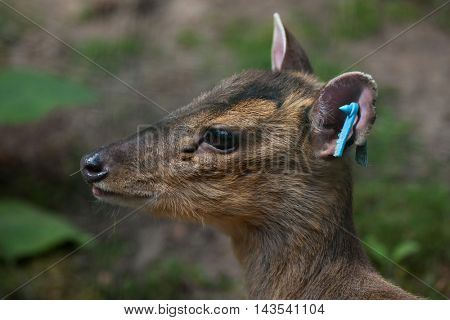 Chinese muntjac (Muntiacus reevesi), also known as the Reeves's muntjac. Wildlife animal.