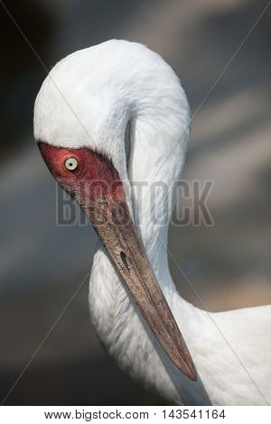 Siberian crane (Grus leucogeranus), also known as the snow crane. Wildlife animal.