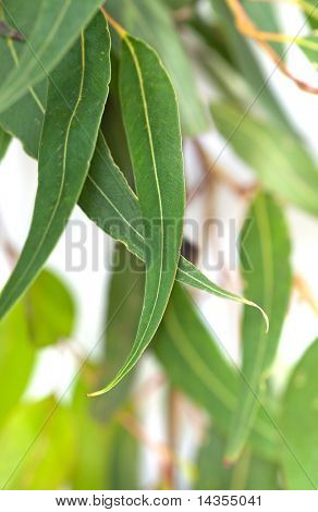 Gum leaves with white background.  Blurred background, with soft focus on front leaves.
