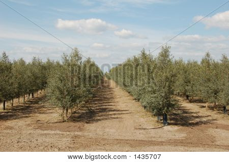 Ripening Olives On A Tree