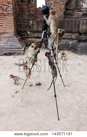 Photograph funny picture monkeys climbing on the tripod in Lop Buri Thailand