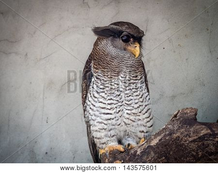 The barred eagle-owl Bubo sumatranus , also called the Malay eagle-owl, is a species of owl in the Strigidae family.