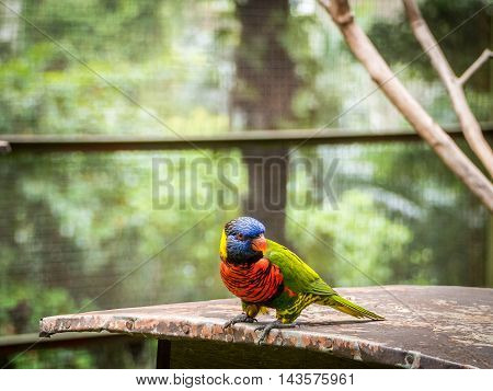 beautiful Chattering red Lory Lorius garrulus at tree