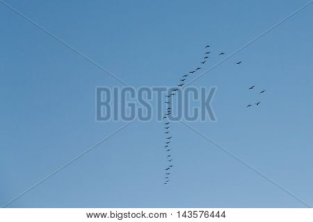 Flock Of Geese Flies In V-formation Flying In Sunny Blue Autumn or Spring Sky