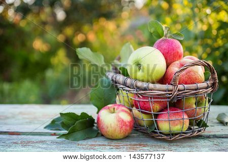 Fresh ripe apples in the basket. Picking apples in summer orchard. Organic fruit and vegetables.