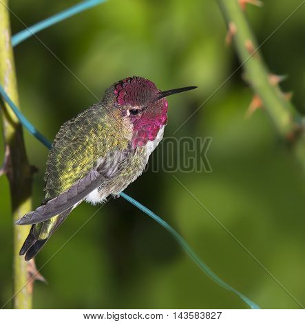 Close up of Ruby Throated Hummingbird (Archilochus colubris) male sitting on garden wire
