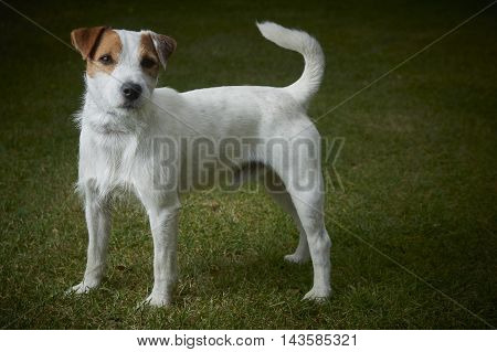 Jack Russell Parson Terrier pet dog standing on green grass
