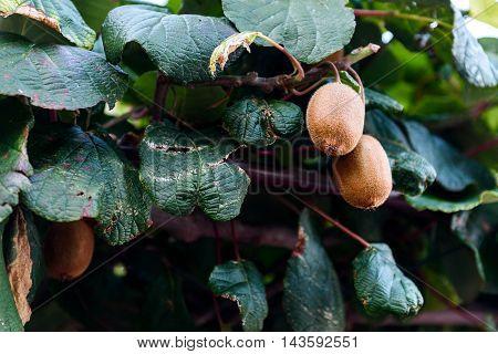 Closeup Of Fresh Kiwi Fruit On Green Kiwi Tree.