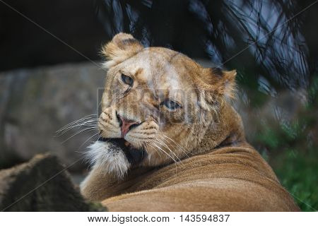 Portrait of the discontented lioness close up
