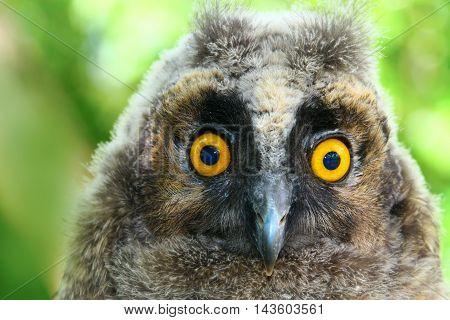 Portrait of Baby long ered owl Asio otus