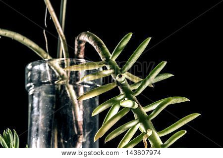 suculent plant in a glas bottle studio macro closeup black background