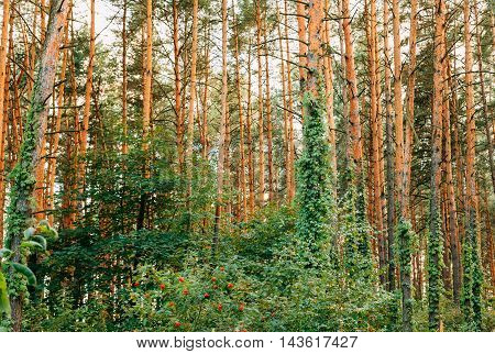 The Dense Summer Pinewood, The Forest With Tall Thin Pines, Enlaced By Wild Ivy And Thick Deciduous Undergrowth Of Rowan Tree And Other.