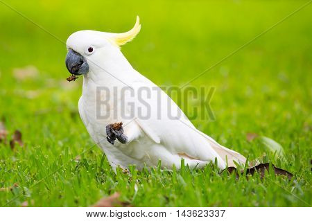 A wild yellow-crested cockatoo spotted eating on Fitzroy Island, Queensland, Australia