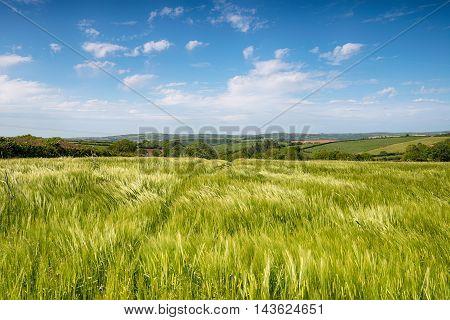 Summer Fields In Cornwall