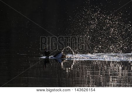 Common Goldeneye (Bucephala clangula) courtship display at early spring in Moscow region Russia