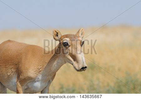 Wild female Saiga antelope (Saiga tatarica) in morning steppe. Federal nature reserve Mekletinskii Kalmykia Russia August 2015