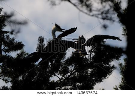 Grey Herons (Ardea cinerea) adult and juvenile birds at the pine. National park Plesheevo Lake Yaroslavl region Russia