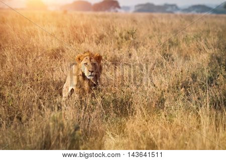 A male lion sits in the savannah surveying his surroundings.
