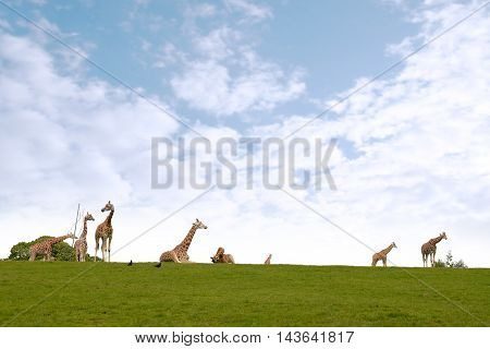 giraffes gathering in the grass on fota wildlife park in county cork ireland