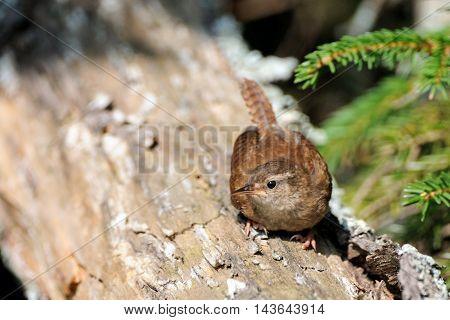 Perching Wren (Troglodytes troglodytes) at tree trunk. Yaroslavl region Russia