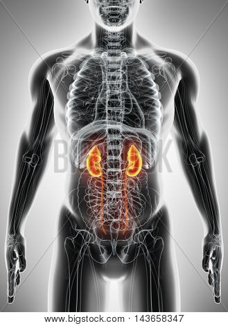 3D Illustration Of Urinary System, Medical Concept.