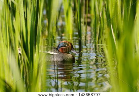 Common Teal (Anas crecca) drake among reeds. Moscow region Russia