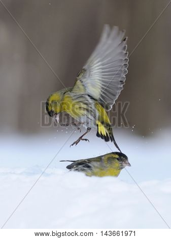 Flying Siskin (Carduelis spinus) above snowdrift. Moscow region Russia