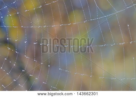 Spider web with water drops in forest