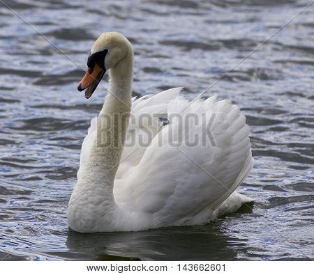 Beautiful isolated image with a screaming swan