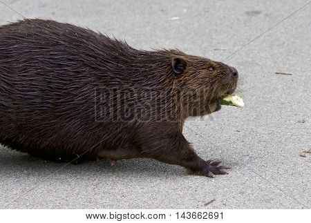 Isolated close image with a Canadian beaver