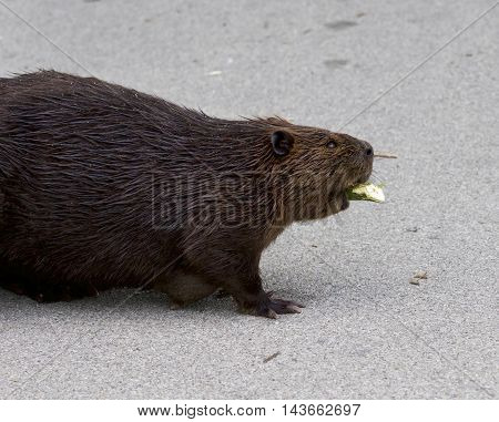 Isolated close photo of the Canadian beaver on the road