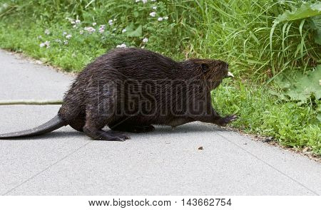 Isolated photo of a Canadian beaver on the road