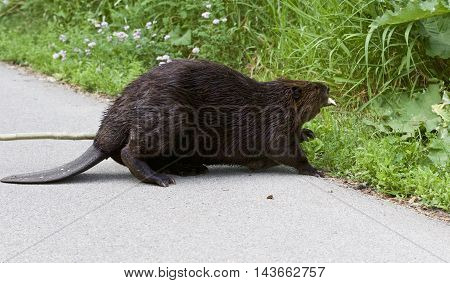 Isolated close image with a Canadian beaver entering the grass