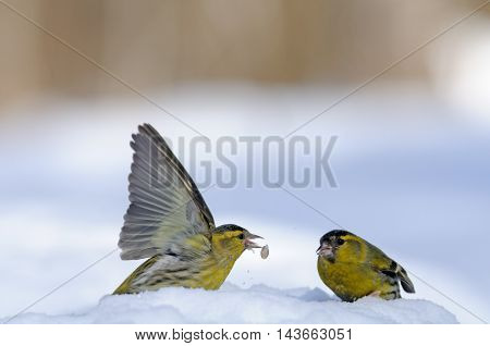 Two male siskins (Carduelis spinus) in snow. Moscow region Russia