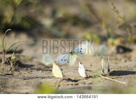 white butterflies circling above the sand beach
