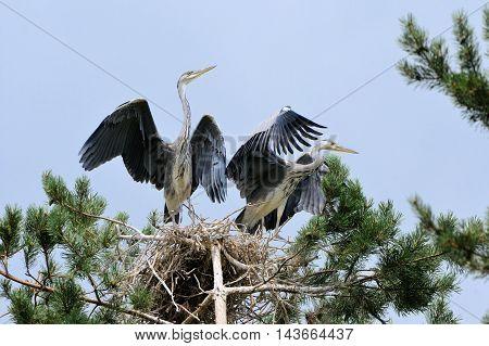 Two Grey Heron (Ardea cinerea) juvenile birds in the nest. National park Plesheevo Lake Yaroslavl region Russia
