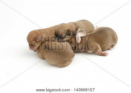 Sleeping newborn Chihuahua puppies on white background