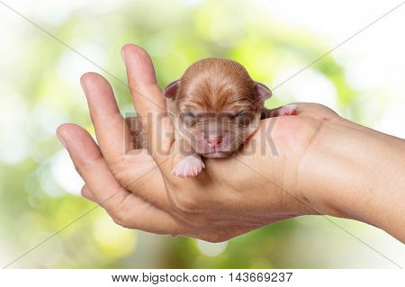 newborn chihuahua puppy in the caring hands on green blurred background