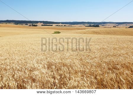 Acres and Acres of Golden Wheat Fields ready to harvest