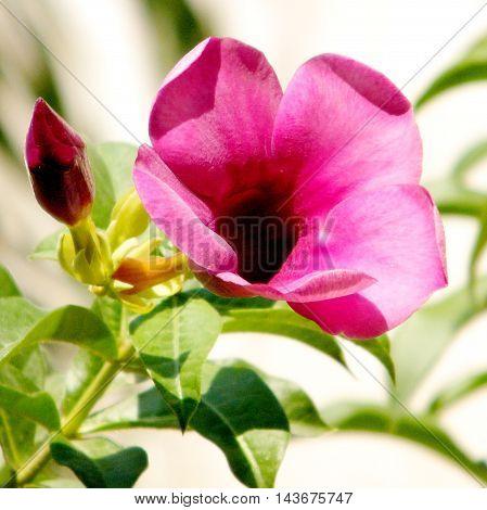 Mandevilla sanderi flower isolated in Or Yehuda Israel