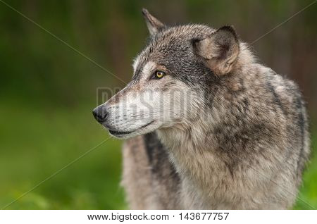 Grey Wolf (Canis lupus) Closeup Profile - captive animal