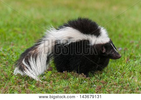 Striped Skunk (Mephitis mephitis) Stands Facing Right - captive animal