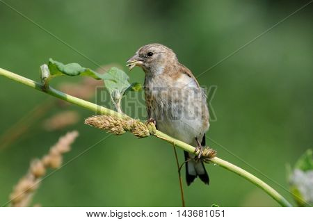 Perching juvenile Goldfinch (Carduelis carduelis) eats grass seeds. Moscow region Russia