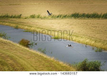Pair of storks in flight in the National park the Biesbosch