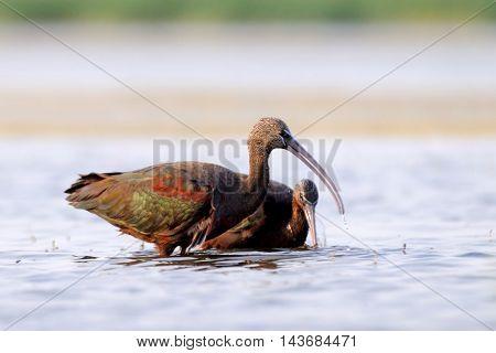 Glossy Ibis (Plegadis falcinellus) at Manych lake. Kalmykia Russia