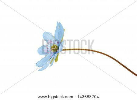 Hepatica nobilis wildflower on a white background