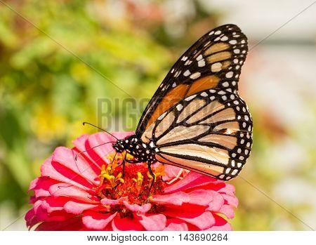 Danaus plexippus, Monarch butterfly, feeding on a pink Zinnia