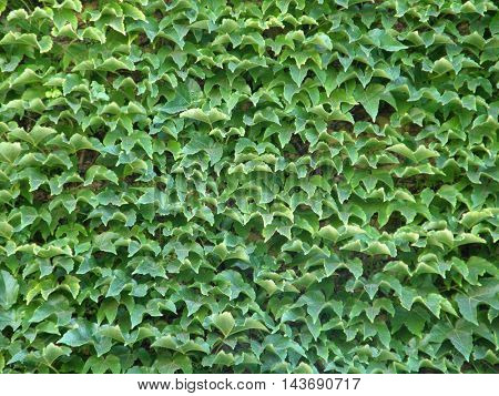 Homogeneous out of the leaves of a wild ivy