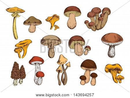 Mushrooms vector set with edible lactarius, boletus, chanterelle, morel, honey fungus and poisonous agaric, toadstool. Organic food isolated icons